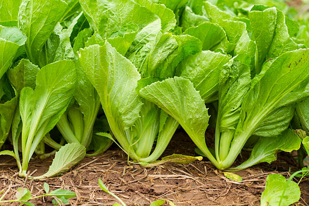 Green leaf mustard in growth at vegetable garden in Vietnam