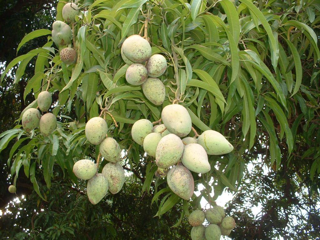indian-mangoes-on-mango-tree-wallpaper-1280x960